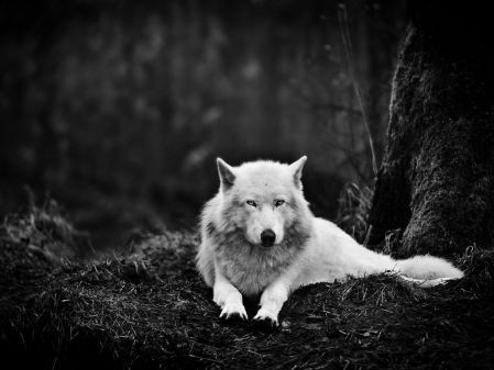 gray-wolf-sanctuary